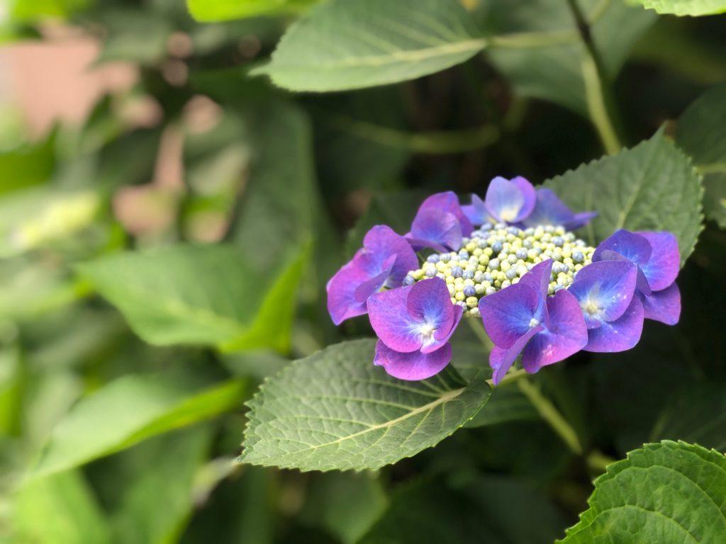 教室の入り口の紫陽花